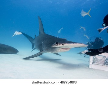 Hammerhead shark underwater at Bimini,  Bahamas.