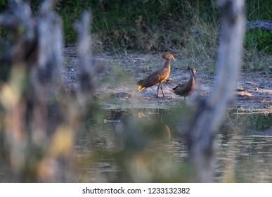 Hammerkop pair on lake