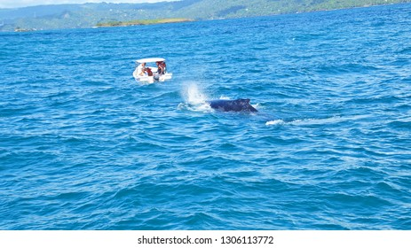 Hampack whale calf near tourist boat, Saman, Dominican Republic - 15 th January 2018, Samana bay