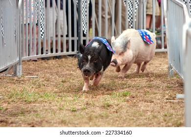 HAMPTON, GA - SEPTEMBER 27:  Two pigs race through a turn in one of several pig race competitions held at the Georgia State Fair on September 27, 2014 in Hampton, GA.