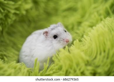 D?ungarian hamster