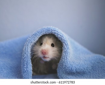 A hamster in a blue towel. Blue background.