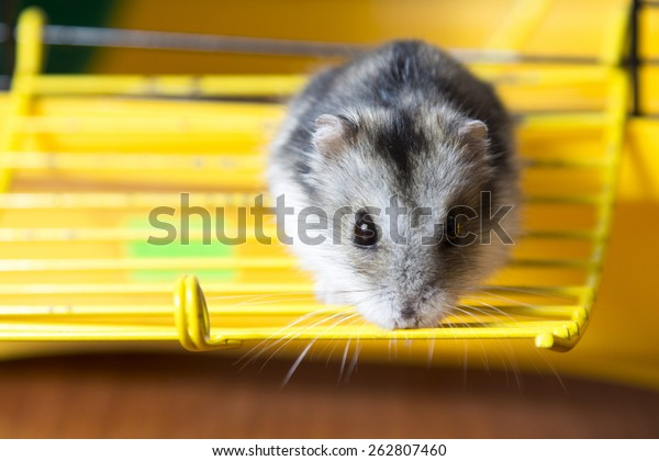 hamster in a cage walks
