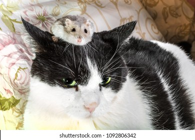 An hamster climbing on the head of a black and white cat. Convept of cohabitation between domestic animals.