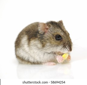 Hamster and corn