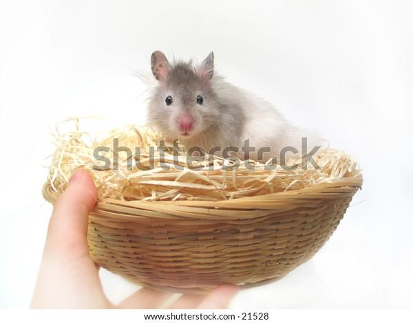 Hamster in a easter basket