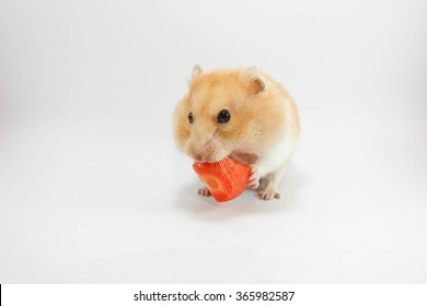 Hamster eating carrot