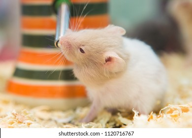 Hamster eating water in a cage