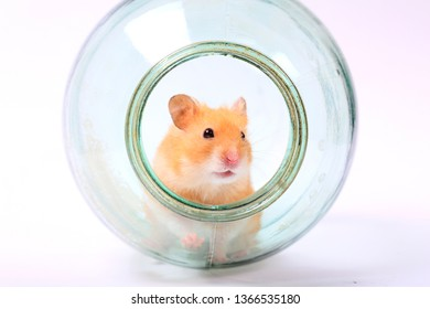 hamster in a glass jar on a white background