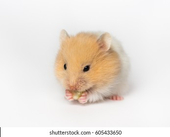 hamster gnaws nut, hamster on a white  background