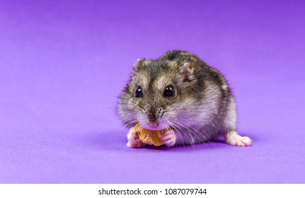 Hamster gray Siberian on a Lilac Blue background