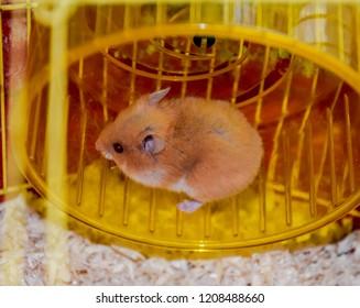 Hamster home in keeping in captivity. Hamster running wheel. Red hamster.