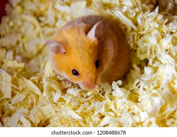 Hamster home in keeping in captivity. Hamster in sawdust. Red hamster.