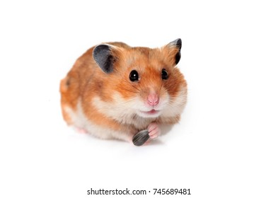 Hamster isolated with seeds