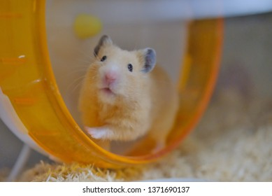 Hamster keeps running on a turning wheel. Golden hamster/Syrian hamster