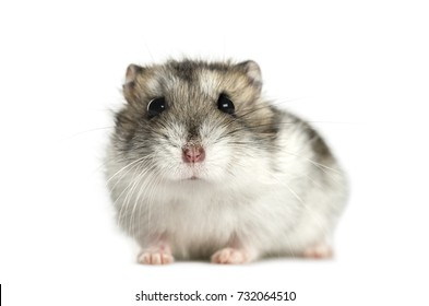 Hamster lying, isolated on white