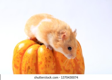 hamster on a pumpkin on a white background