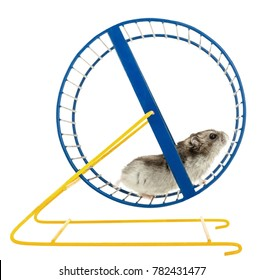 Hamster on a Wheel Isolated