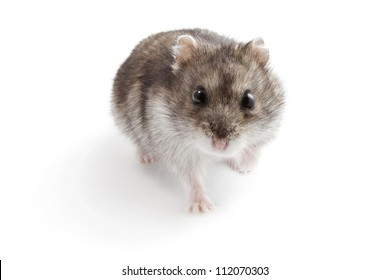Hamster on a white background