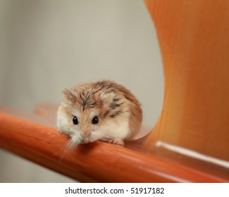 Hamster playing on surfboard with white background