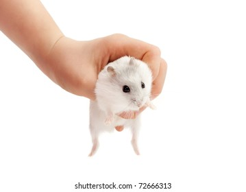Hamster relaxing in hand isolated on white