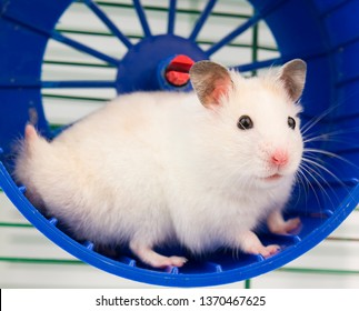 hamster running in the running wheel isolated on white backgroun