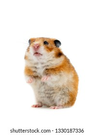 hamster standing on its hind legs isolated on white background