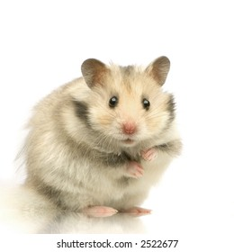 Hamster standing up and staring the camera in front of a white background