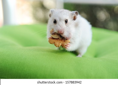 hamster and walnut