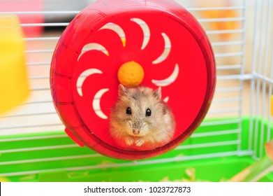 hamster in a wheel,isolated