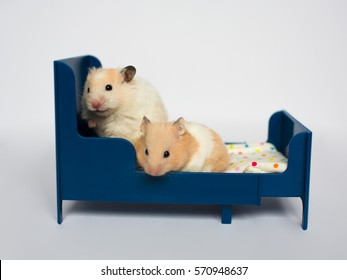 hamsters on the bed, isolated on white background. Family hamsters