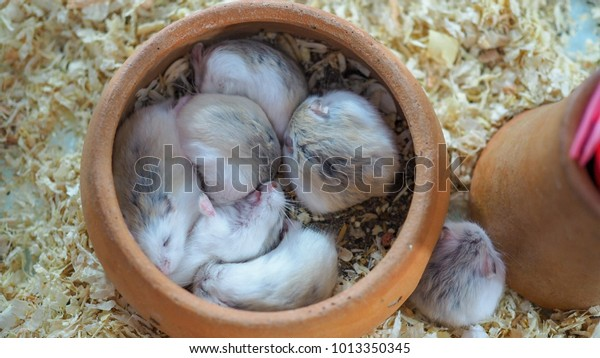 Hamsters Sleeping Jar Stock Photo (Edit Now) 1013350345