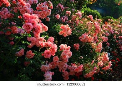 Hanamaki hot springs rose garden