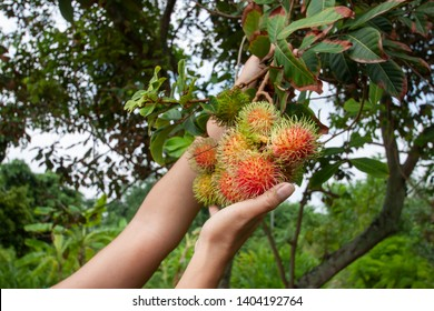 Hand of agriculturist harvested ripe rambutan fruits on the tree has a delicious sweet taste.