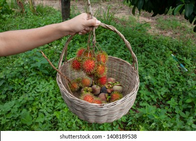 Hand of agriculturist hold the basket for harvested ripe rambutan and mangosteen fruits on the tree in the garden.
