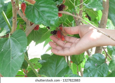 Hand of agriculturist picked mulberry fruit from the tree.