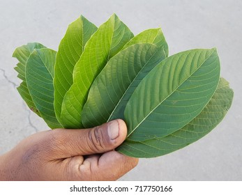 Hand of Asian workers is holding a Mitragyna speciosa (kratom)  Leaves of Mitragyna speciosa, Drugs and Narcotics in Thailand.