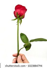 Hand a beautiful bright red rose on a white background. For special someone