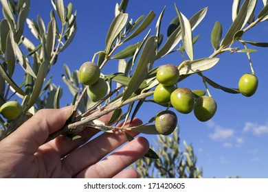 Hand with branch of green olives on olive tree