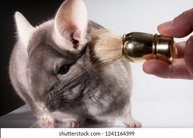 Hand with a brush scratching behind the ear beige chinchilla