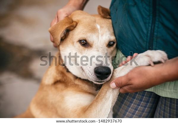 Main caressant un mignon chien sans-abri avec des yeux doux à l'oeil dans le parc d'été. Personne embrassant un adorable chien jaune avec de drôles d'émotions mignonnes. Concept d'adoption.