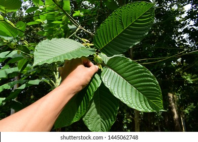 hand catching Kratom (Mitragyna speciosa) Mitragynine. Drugs and Narcotics.Kratom is Thai herbal which encourage health.