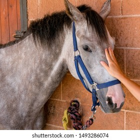 Hand of a caucasian woman on the horse's face. A young woman at the stable stroking a dapple gray horse. Touching the horse. The concept of human-nature relations.