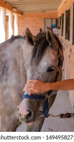 Hand of a caucasian woman on the horse's face. A young woman at the stable stroking a dapple gray horse. Holsteiner bay horse. Touching the horse. The concept of human-nature relations.