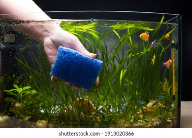 Hand cleaning aqaurium glass with sponge, aquarium with colored little fishes and plants.