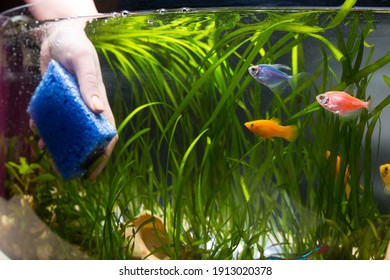 Hand cleaning aquarium with sponge before to change a water for fish.