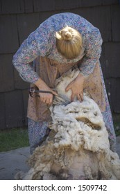 Hand clippers are used to shear a sheep in this demonstration of traditional farming methods