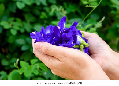 Hand collecting butterfly pea flower from vine plant