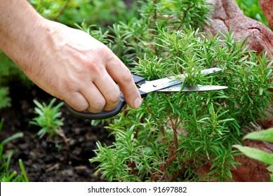 hand cutting a green fresh rosemary branch in seasoning garden