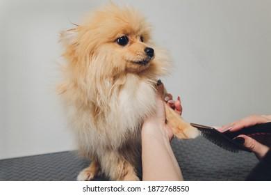 Hand doing grooming, haircut, combing wool of beautiful happy Pomeranian Spitz dog.